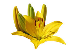 Yellow Lily with buds. On a white isolated background Stock Photography