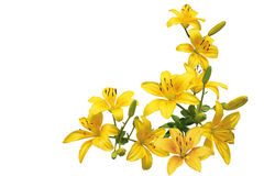 Yellow Lily Bundle Royalty Free Stock Images