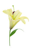 Yellow Lily (with clipping path). On white background Stock Image