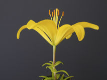 Yellow lily close up, black background Stock Photos