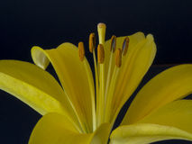 Yellow lily close up Royalty Free Stock Photos