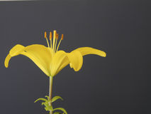 Yellow lily close up Stock Image