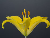 Yellow lily close up Royalty Free Stock Images
