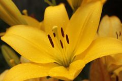 Yellow lily, with drops after a rain. Royalty Free Stock Photography