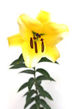 Yellow lily. Yellow easter lily. Macro shoot Stock Photo
