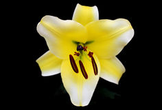 Yellow lily. Yellow easter lily. Macro shoot Stock Images