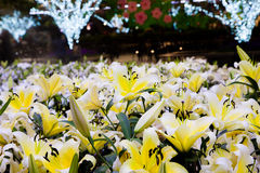 Yellow lily field and bokeh light background. At night flower garden, Chiang Rai Asian flower festival Thailand 2015 stock photos
