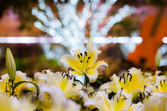 Yellow lily field and bokeh light background at night garden Stock Image
