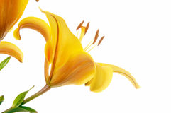 Yellow lily flower Stock Photos