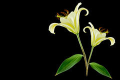 Yellow lily flower on black background Royalty Free Stock Images