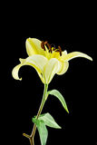 Yellow lily flower on black background Stock Images