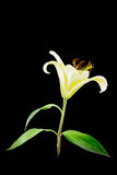 Yellow lily flower on black background Stock Image