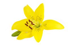 Yellow lily flower with a bud Royalty Free Stock Photo