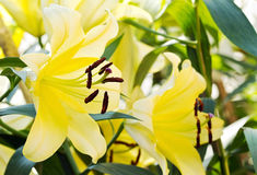 Yellow lily flower3 Royalty Free Stock Photography