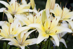 Yellow lily flower, floral background Stock Image