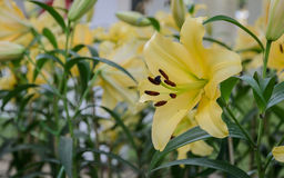 Yellow lily flower in the garden Stock Image