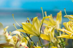 Yellow lily flower in garden. Royalty Free Stock Photo