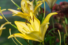 Yellow lily flower in garden. Royalty Free Stock Image