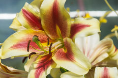 Yellow lily flower in garden. Stock Image