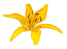 Yellow lily flower isolated Stock Photo