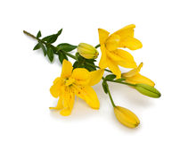 Yellow lily flower isolated on white Stock Photos