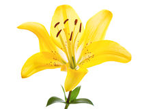 Yellow lily flower Royalty Free Stock Image