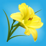 Yellow lily flower on light blue background. Yellow lily flower with bud and leaves on light blue background Royalty Free Stock Image
