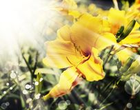 Yellow lily flower on retro background Stock Photography