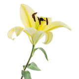 Yellow lily flower on white background Royalty Free Stock Image