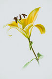 Yellow lily flower on white background Stock Photos