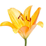 Yellow lily flower on white Stock Images