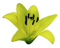 Yellow Lily flower.  White isolated background with clipping path.   Closeup.  no shadows.  For design. Royalty Free Stock Photos