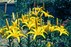 Yellow lily flower. S in the sunny garden Royalty Free Stock Image