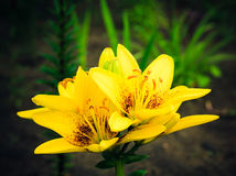 Yellow Lily flowers Stock Image