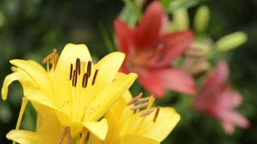 Yellow lily flowers stock video