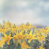 Yellow Lily Flowers Royalty Free Stock Photography