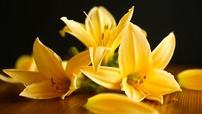 Yellow lily flowers and buds. On a black background