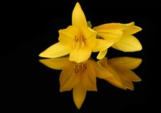 Yellow lily flowers with drops royalty free stock photos