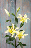 Yellow lily flowers Royalty Free Stock Image