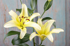 Yellow lily flowers Royalty Free Stock Images