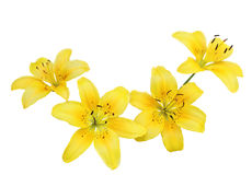 Yellow Lily Flowers. Isolated on white background Stock Photos