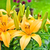 Yellow lily flowers outside in the garden. Royalty Free Stock Photo