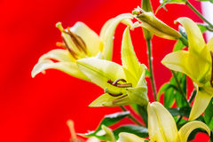 Yellow Lily flowers Stock Photos