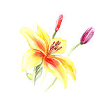 The yellow lily flowers watercolor  Stock Photo