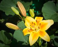 Yellow lily in the garden Royalty Free Stock Photo