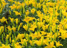 Yellow lily garden Stock Images