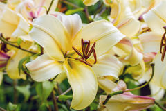 Yellow lily in the garden Royalty Free Stock Images