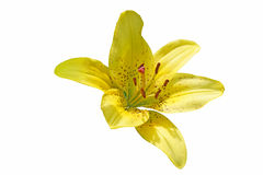 Yellow lily garden. Isolated. Close-up Royalty Free Stock Image