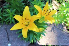 Yellow Lily Growing in Landscaping stock photos