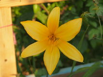 The yellow lily grows in the garden. Floriculture. Gardening Royalty Free Stock Image